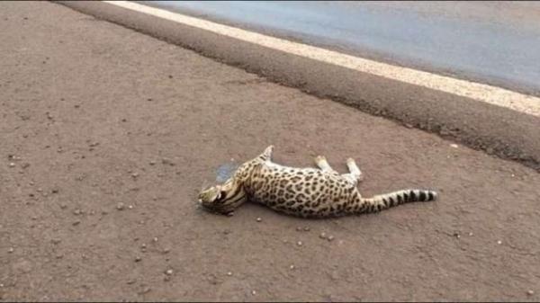 De acordo com a PRF, o felino morreu após ter sido atropelado (Foto: CATVE )