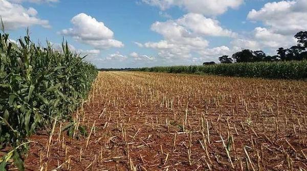 Produtores retiram milho para que obras iniciem no Contorno Oeste (Foto: Folha de Palotina )