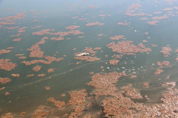 """De acordo com o profissional da Emater o aspecto de """"sujeira"""" que está flutuando no lago é provocado pela mortalidade de algas. Fotos: Emanuela Schaedler Schnekemberg"""