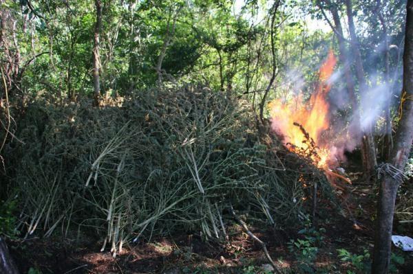 Plantas deixadas para secagem destruídas pelas forças policiais. - Foto: Senad