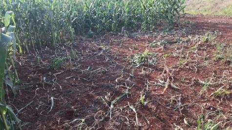 Os ladrões cortaram os pés inteiro de milho. (Foto: Interativa FM)