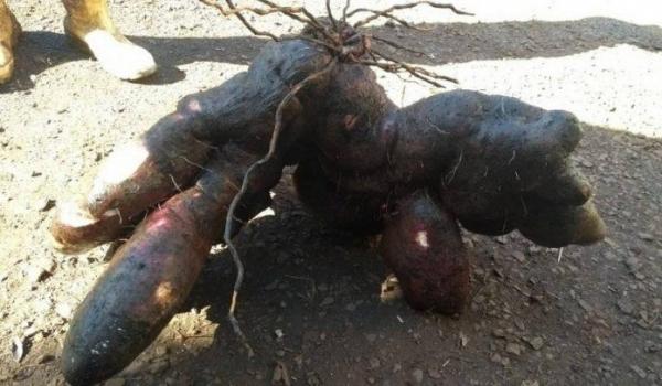A batata gigante foi colhida na propriedade do senhor Valdoli Arnold. (Foto: NP1)