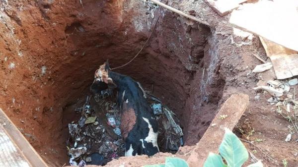 Foi necessária a utilização de um caminhão muque da corporação para fazer a retirada do animal . (Fotos: CGN)