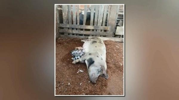 Leitoa dá à luz 22 filhotes, em propriedade rural de Paranavaí — Foto: Reprodução/RPC