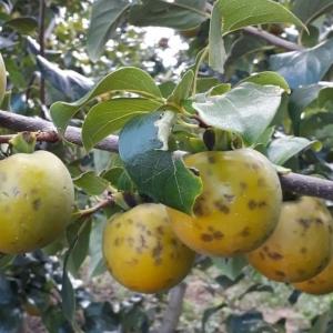 Plantação de frutas tiveram danos devido ao temporal na Serra do RS — Foto: Carlos Scariot, divulgação/STR Caxias